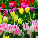 Bonsai tulip Seeds 100pcs 10kinds mix Flower Seeds Novel Plant for Garden Free Shipping
