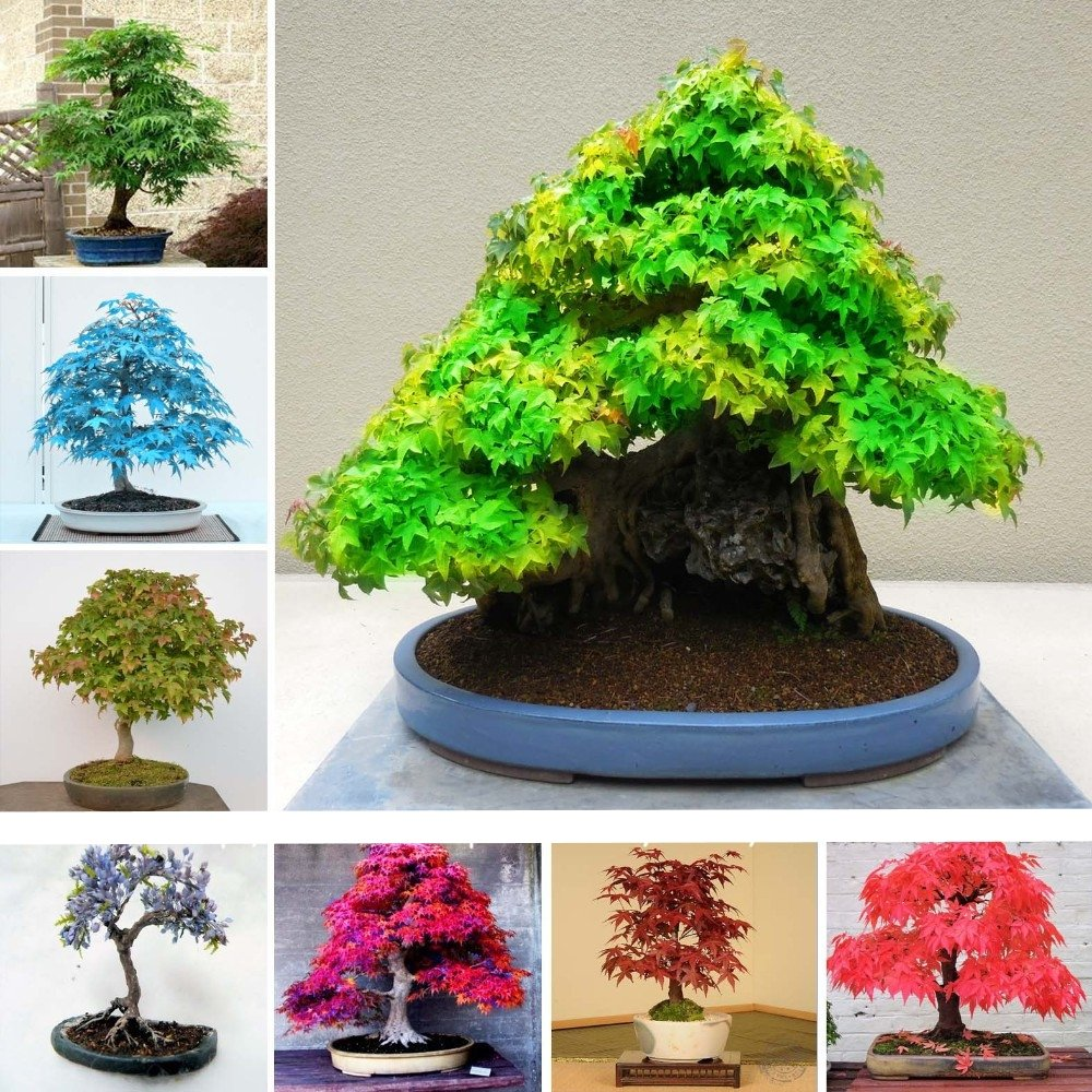 50 Pcs Japanese Maple Seeds, Bonsai Tree Seeds, suit for DIY Home Garden, Free Shipping