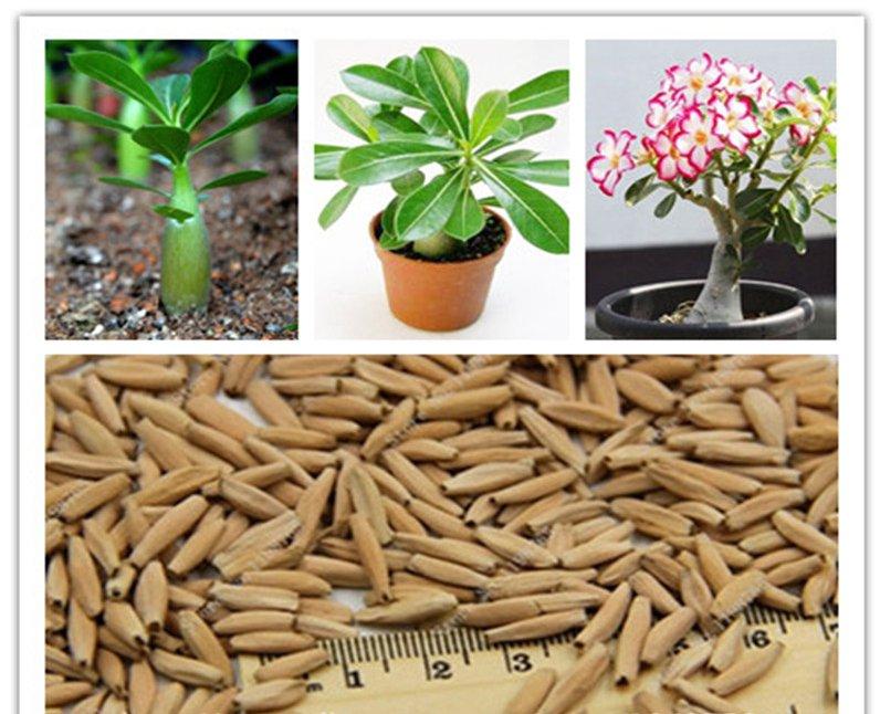 desert rose seeds real Thailand Adenium obesum seeds flower bonsai plant mini tree giant flower 2pcs