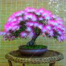 20 pcs Acacia tree seeds, (albizia julibrissin) bonsai flower seeds Perennial indoor plant