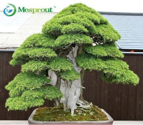 Bonsai seeds 30 pcs Japanese Red Cedar - Cryptomeria japonica seeds - Bonsai Tree Evergreen