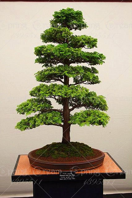 28PCS/BAG rare tree seeds for home bonsai JAPANESE CEDAR Semillas bonsai seeds