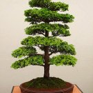 28PCS/BAG rare tree seeds for home bonsai JAPANESE CEDAR Semillas bonsai seeds