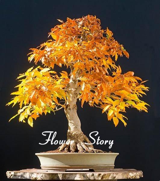 Japanese Maple Bonsai Tree Seeds Garden Plants for home 20 Pcs