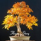 Japanese Maple Bonsai Tree Seeds Garden Plants for home 20 Pcs