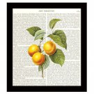 Dictionary Art Print 8 x 10 Apricots Colorful Fruit Botanical Kitchen Decor