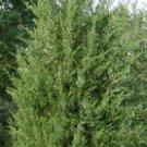 Red Cedar Sapling 6-12''