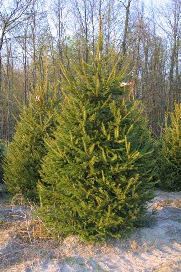 2 Norway Spruce Saplings 6-12''