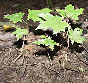 2-Amur Maple saplings 1-2'