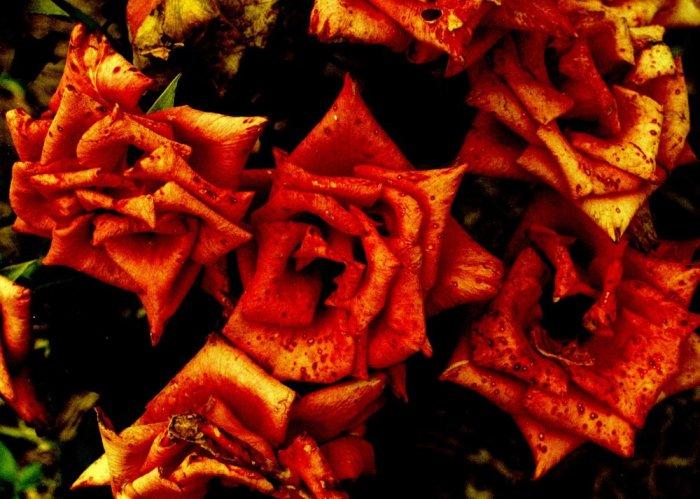 the orange bones - 5x7 print