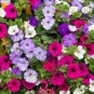500 Petunia, Dwarf Mixed Flower seeds bright colorful CombSH