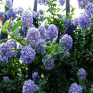 30 Deerbrush Ceanothus (Ceanothus integerrimus) seeds Fragrant/Tree *SHIPPING FROM US* CombSH