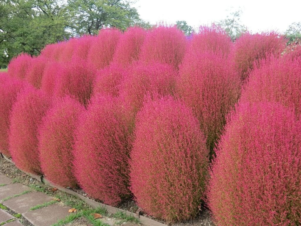KOCHIA SCOPARIA burning bush 250 seeds Exotic * Ornamental * easy grow * *SHIPPING FROM US* CombSH