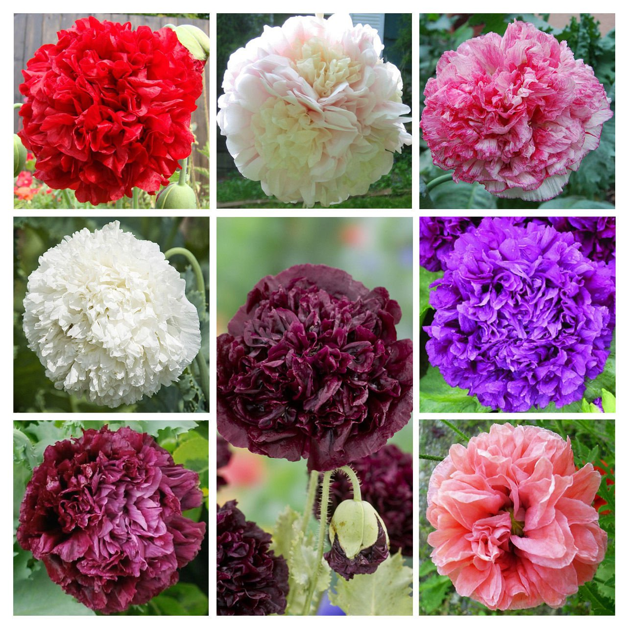 Peony Poppy Double Mix 1,000 seeds Papaver paeoniflorum *SHIPPING FROM US* CombSH