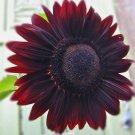 Sun Flower Velvet Queen 50 seeds * Eye catching* Beautiful * Cut Flower * *SHIPPING FROM US* CombSH