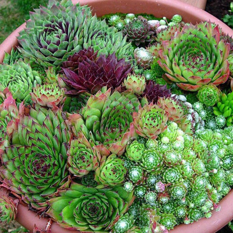 Hen and Chickens Sempervivum mix 20 seeds *Easy grow* succulent *SHIPPING FROM US* CombSH C23