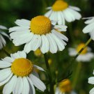 German Chamomile Matricaria chamomilla 1000 seeds * herb * ez grow * E44