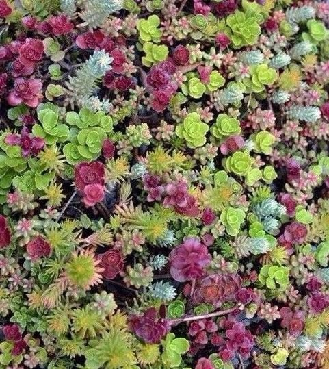 Sedum mixed 50 seeds *succulents excellent performing ground cover *SHIPPING FROM US* CombSH D45