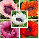 Oriental Poppy Mixed Color 1000 seeds ( Papaver Orientale ) Beautiful *SHIPPING FROM US* CombSH B12