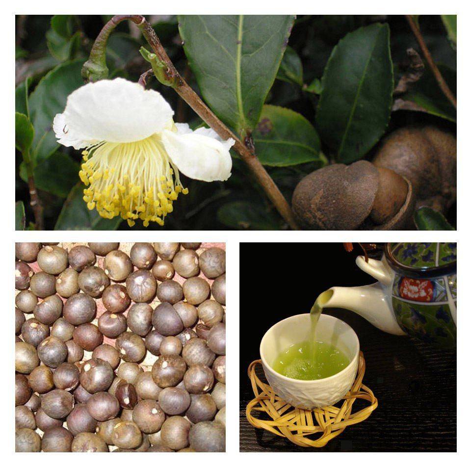 Japanese Green tea Camellia sinensis* FRESH SEEDS *Grow your own tea* *SHIPPING FROM US* CombSH A88