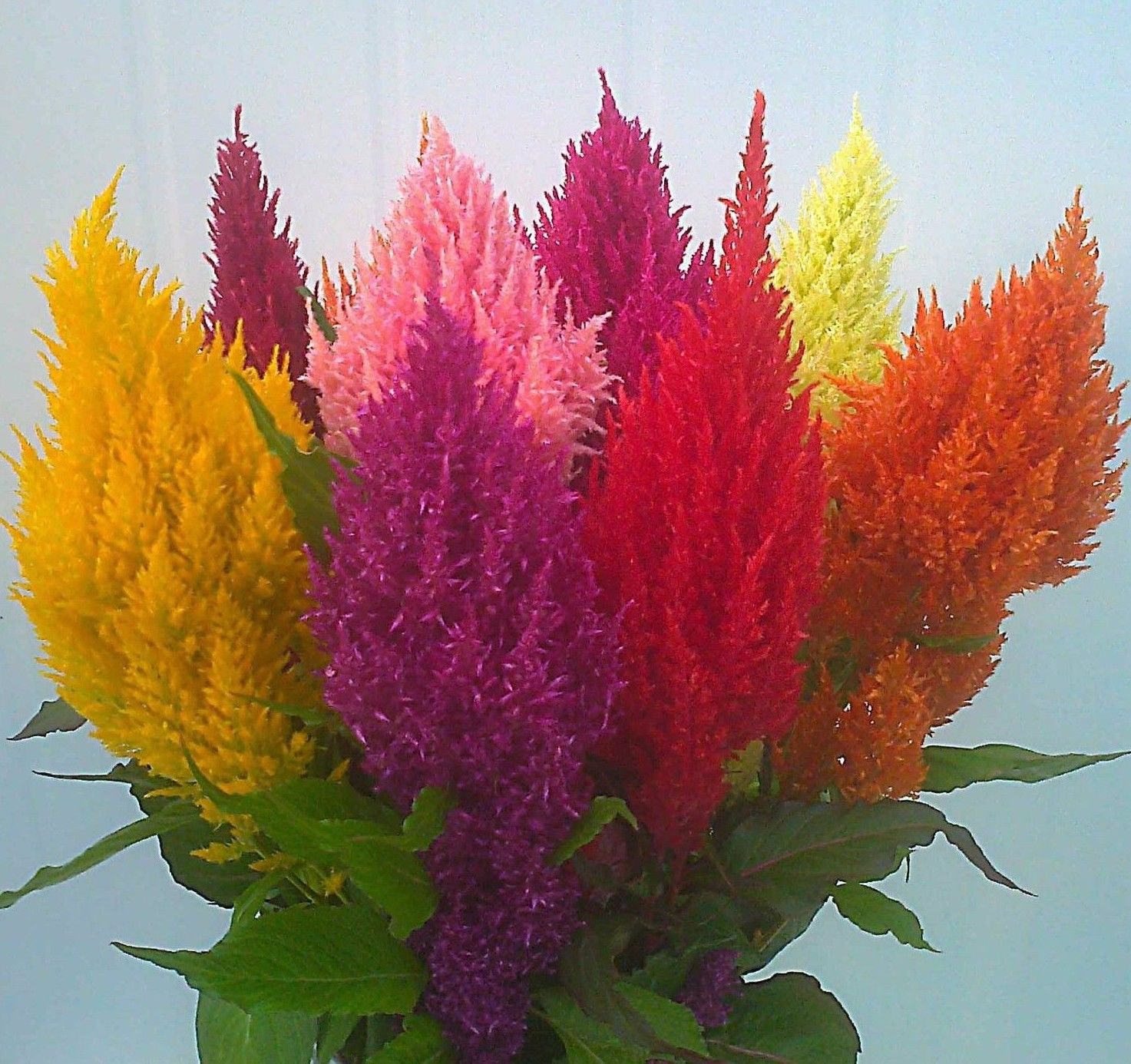 Plumed Cockscomb - Celosia argentea Mixed Color 150 seeds *SHIPPING FROM US* CombSH A83