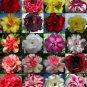 DESERT ROSE (ADENIUM OBESUM) MIXED COLORS 10 SEEDS  * exotic succulent * *SHIPPING FROM US* CombSH