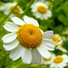 Roman Chamomile Chamaemelum Nobile 1500 seeds * perennial * Herb * *SHIPPING FROM US* CombSH