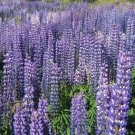 Perennial Wild Lupine Lupinus Perennis 100 seeds * Ornamental * *SHIPPING FROM US* CombSH C57