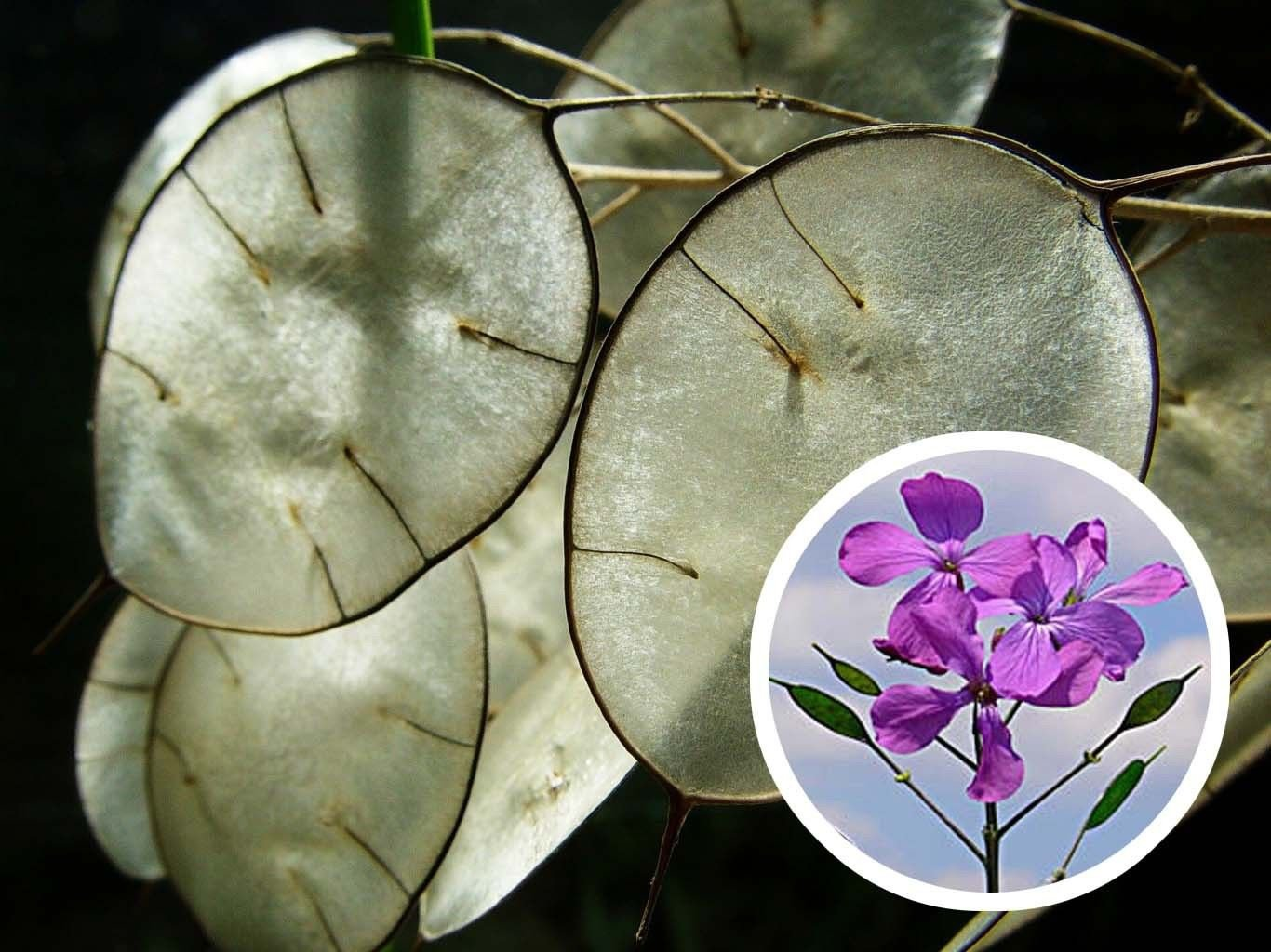 Silver Dollar Lunaria Biennis 50 seeds Money plant * Showy * *SHIPPING FROM US* CombSH J14
