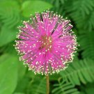 50 sensitive plant seeds Mimosa Pudica Fun * easy grow * *SHIPPING FROM US* CombSH  D25