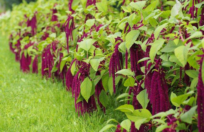 500 Amaranthus caudatus seeds  love lies bleeding  Garden Flower CombSH I45