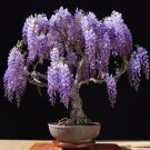 Purple Chinese Wisteria sinensis 5 seeds* ez grow * bonsai * Fragrant *SHIPPING FROM US* CombSH J11