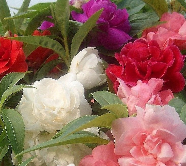 Double Balsam Camellia Mix 100 seeds Impatiens balsamina * Easy Grow * *SHIPPING FROM US* CombSH