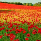 500 Red Corn Poppy Flower seeds Papaver rhoeas  Poppy seed CombSH A53