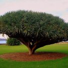 10 Seeds Canary Island Dragon blood tree (Dracaena draco) showy, exotic *SHIPPING FROM US* CombSH