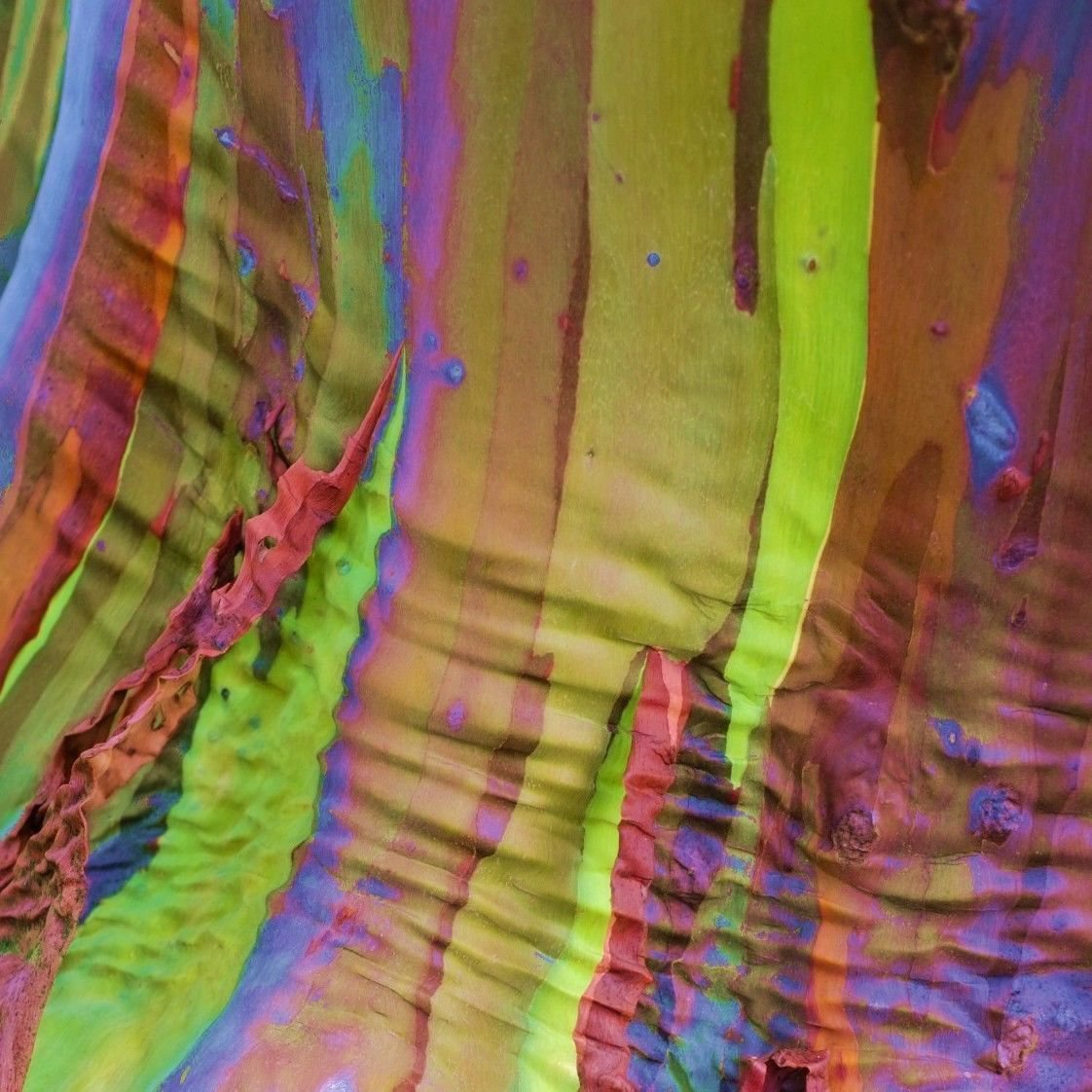 Rainbow Eucalyptus approximate seeds *Eucalyptus deglupta*Rare Exotic *SHIPPING FROM US* CombSH