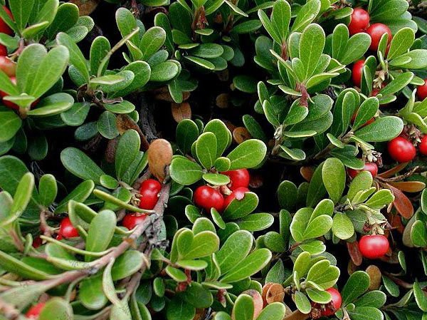 15 Bearberry seeds �Arctostaphylos uva-ursi�Groundcover Plant *SHIPPING FROM US* CombSH