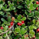 15 Bearberry seeds (Arctostaphylos uva-ursi)Groundcover Plant *SHIPPING FROM US* CombSH