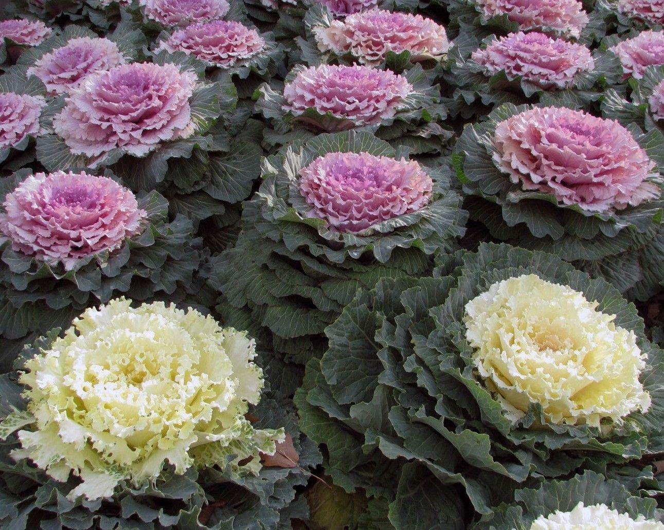 Ornamental Kale 50 seeds * Low maintenance * Wonderful Foliage * E46