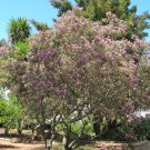 30 Desert Willow seeds (Chilopsis linearis) Ornamental Tree *SHIPPING FROM US* CombSH