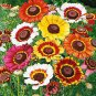 Tricolor Painted Daisy Mix 250 seeds Chrysanthemum carinatum *Colorful*  *SHIPPING FROM US* CombSH