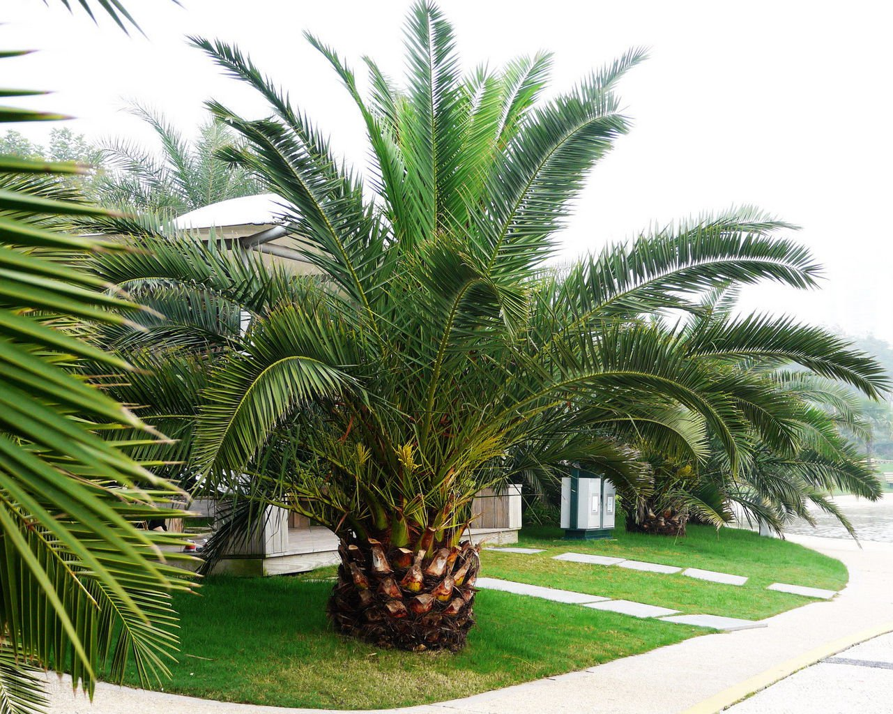 Pineapple Palm 5 seeds Phoenix canariensis  Ornamental tree / bonsai *SHIPPING FROM US* CombSH L42