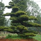 Chinese Red Pine 10 seeds  Pinus tabuliformis Ornamental  tree *SHIPPING FROM US* CombSH M51