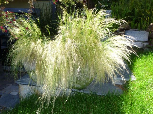 35 + Mexican Feather Grass (Stipa tenuissima) seeds Perennial Ornamental *SHIPPING FROM US* CombSH