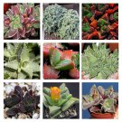 Faucaria Species Mix 10 seeds * Succulent * easy grow * *SHIPPING FROM US* CombSH C74