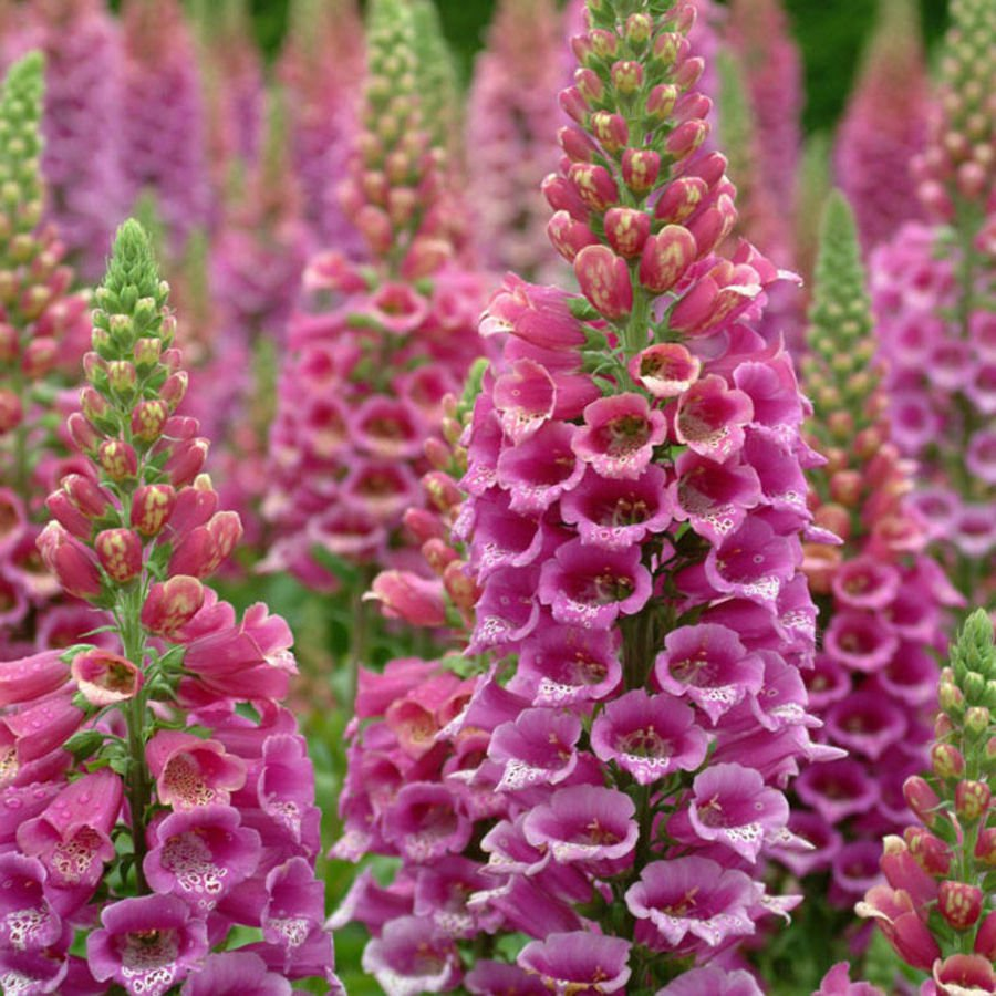 Common Foxglove 1000 seeds Digitalis purpurea *SHIPPING FROM US* CombSH