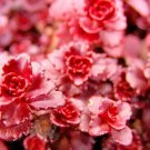 Sedum Dragon's blood 100 seeds succulents excellent ground cover  *SHIPPING FROM US* CombSH D46