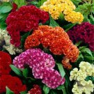 Celosia Crested Cockscomb Mix 500 seeds * Cut Flower * easy grow * *SHIPPING FROM US* CombSH A74