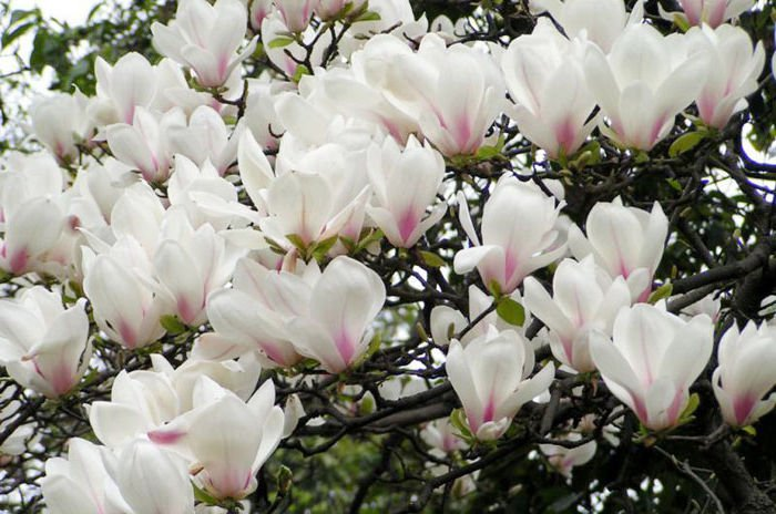 5 Yulan Magnolia seeds Magnolia denudata * Fragrant * Ornamental Tree *SHIPPING FROM US* CombSH M61