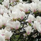 5 Yulan Magnolia seeds Magnolia denudata * Fragrant * Ornamental Tree *SHIPPING FROM US* CombSH M61